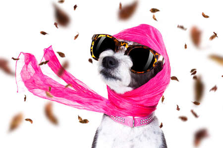 chic fashionable diva luxury  cool dog with funny sunglasses, scarf and necklace, isolated on white background in autumn or fall with leaves