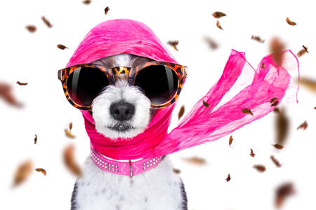 Chic fashionable diva luxury  cool dog with funny sunglasses, scarf and necklace Stock Photo