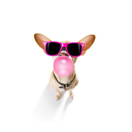 curious chihuahua dog  looking up to owner waiting or sitting patient to play or go for a walk with  chewing bubble gum with reading sunglasses or glasses,   isolated on white background
