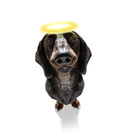 Dachshund sausage dog with guilty conscience  with angel halo on the head