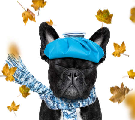 Sick ill  french bulldog  dog