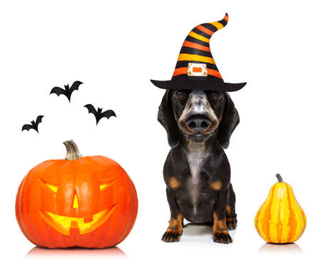 Dachshund sausage dog sit as a ghost for halloween