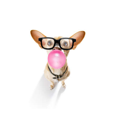 Curious chihuahua dog  looking up to owner waiting or sitting patient to play or go for a walk with  chewing bubble gum with reading sunglasses or glasses