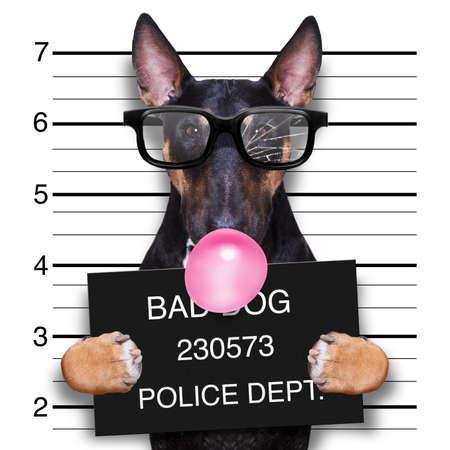 Ficha policial criminal de perro pitbull terrier en la estación de policía sosteniendo un cartel con chicle de burbuja, aislado en segundo plano. Foto de archivo
