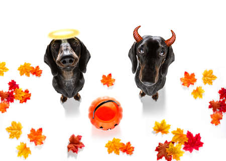 dachshund sausage dog sit as a ghost for halloween sitting at with pumpkin lantern or light , scary and angel with halo spooky right or wrong , good and bad