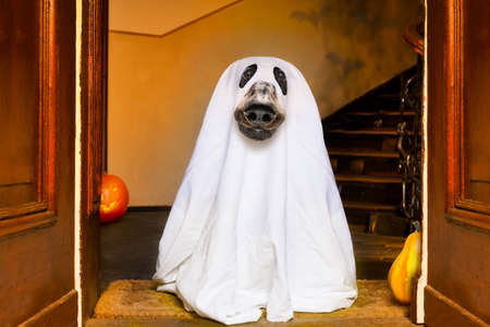 dog sit as a ghost for halloween in front of the door  at home entrance with pumpkin lantern or  light , scary and spooky Stock Photo