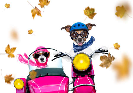 Motorcycle diva lady fancy  dog driving a motorbike with sunglasses isolated on white
