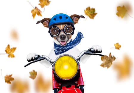 motorcycle  jack russell  dog driving a motorbike with sunglasses isolated on white background in windy autumn fall with leaves flying around