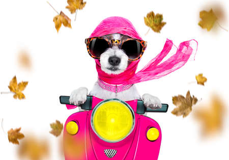 motorcycle diva lady fancy  dog driving a motorbike with sunglasses isolated on white background in windy autumn fall with leaves flying around Stock Photo