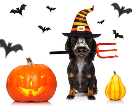 Dachshund sausage dog sit as a ghost for halloween sitting   at with pumpkin lantern Standard-Bild