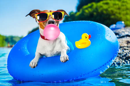 Jack russell dog on  blue air mattress in summer vacation