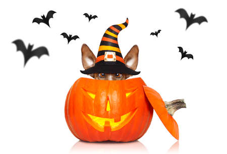 Jack russell terrier dog sit as a ghost for halloween sitting  inside   a  pumpkin lantern