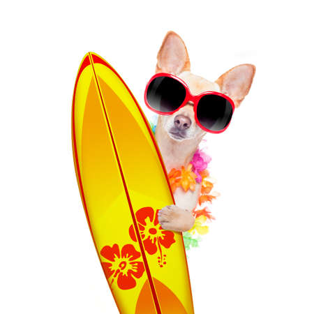 Summer paradise vacation surfer chihuahua dog with surfboard and sunglasses isolated on white