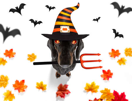 dachshund sausage dog sit as a ghost for halloween sitting   at with pumpkin lantern or  light , scary and sspooky glowing eyes   isolated on white background