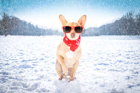 cool funny freezing icy dog in snow with sunglasses and scarf, sitting and waiting to go for a walk with owner