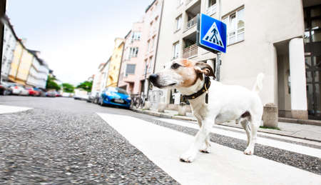 jack russell terreir dog waiting for owner to cross the street over crossing walk with leash,