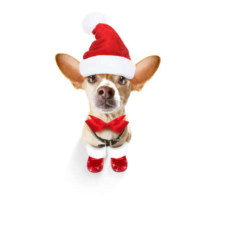 christmas santa claus chihuahua dog as a holiday season surprise  with red hat , isolated on white background