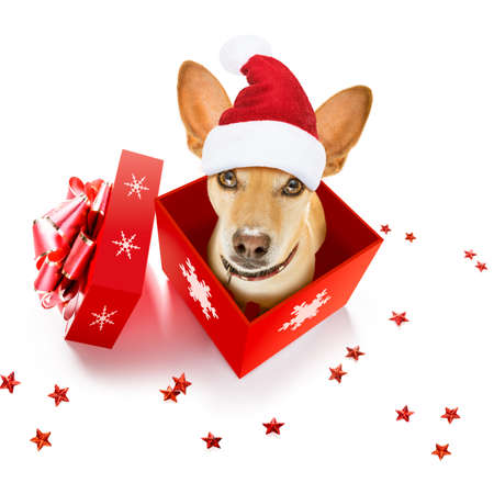 christmas santa claus chihuahua dog as a holiday season surprise out of a gift or present box with red hat , isolated on white background with stars falling