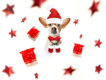 christmas santa claus chihuahua dog as a holiday season surprise with red hat , isolated on white background with stars falling