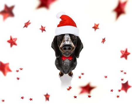 christmas santa claus dachshund sausage dog as a holiday season surprise with red hat , isolated on white background with stars falling