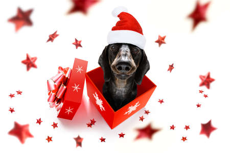 christmas santa claus dachshund sausage dog as a holiday season surprise out of a gift or present box with red hat , isolated on white background with stars falling