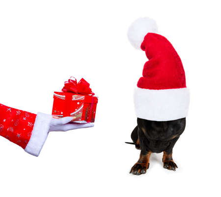 christmas santa claus dachshund sausage dog as a holiday season surprise out of a gift or present box with red hat , isolated on white background with stars falling and noel hand Stock Photo