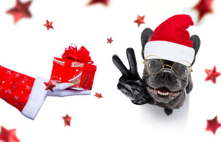 Christmas french bulldog dog as a holiday season surprise out of a gift or present box  with red hat
