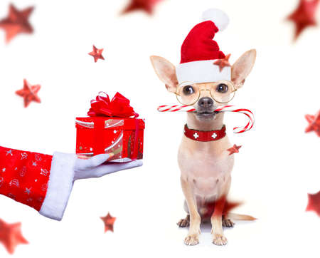 Christmas chihuahua dog as a holiday season surprise out of a gift or present box  with red hat 版權商用圖片