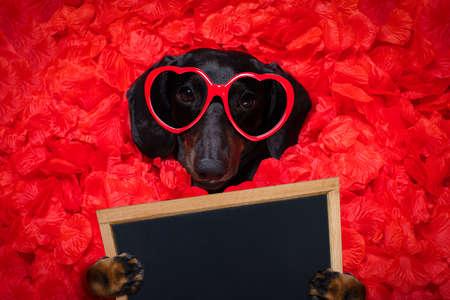 Suasage Dackel Hund im Bett liegend voller roter Rosenblüten als Hintergrund, verliebt am Valentinstag und so süß mit einer Sonnenbrille, die ein Banner oder ein Plakat hält
