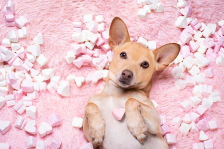 chihuahua dog looking and staring at you   ,while lying  bed full with  marshmallows  in love, for valentines or wedding