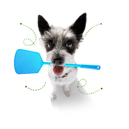 poodle dog considering the problem of tick insects and fleas , close to scratch its skin or fur , isolated on white background, with a fly swatter