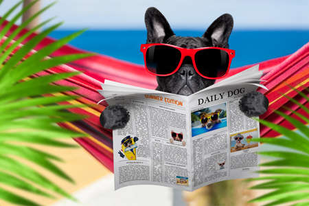 french bulldog dog relaxing on a fancy red  hammock  with red sunglasses reading newspaper or  magazine,  on summer vacation holidays at the beach , behind plam trees 版權商用圖片 - 150486596