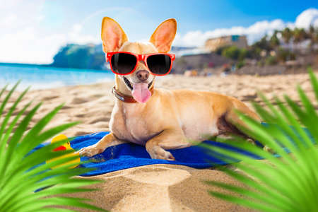 chihuahua dog at the ocean shore beach wearing red funny sunglasses smiling at camera, behind palm trees
