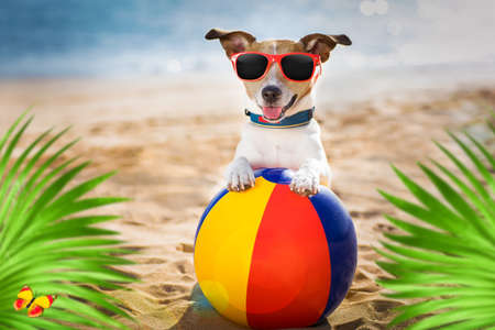 jack russel dog  at the beach ocean shore, on summer vacation holidays  with a plastic ball,  behind palm trees