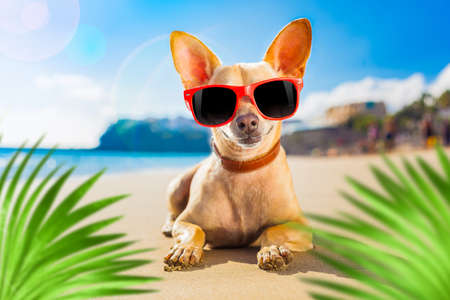chihuahua dog at the ocean shore beach wearing red funny sunglasses, behind palm trees