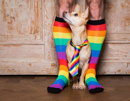 crazy funny gay homosexual  chihuahua dog proud of human rights ,sitting and waiting, with rainbow flag tie and owner weraring queer socks