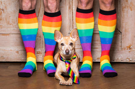 crazy funny chihuahua dog proud of human rights ,sitting and waiting, with rainbow flag tie and owner weraring queer socks