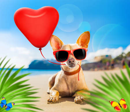 chihuahua dog at the ocean shore beach wearing red funny sunglasses in love with heart balloon for birthday or valentines day, behind palm trees