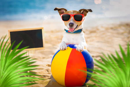 jack russel dog  at the beach ocean shore, on summer vacation holidays  with a plastic ball, banner or placard to the side, behind palm trees