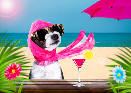 lady diva poodle dog  with sunglasses in summer vacation holidays   with  cocktail drink or beverage   at the beach bar club Standard-Bild