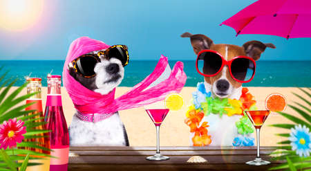 lady diva poodle dog with husband wearing sunglasses in summer vacation holidays with cocktail drink or beverage at the beach bar club