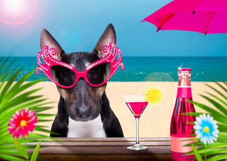 pitbull dog with sunglasses in summer vacation holidays with cocktail drink or beverage at the beach bar club Standard-Bild