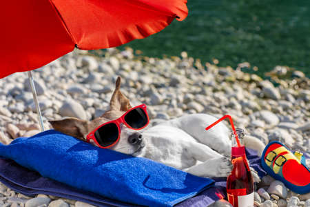 jack russel dog resting and relaxing on a towel under umbrella at the beach ocean shore, on summer vacation holidays, with cocktail