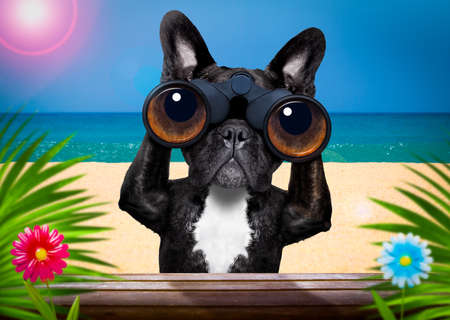 French bulldog dog binoculars searching, looking and observing with care