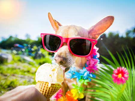 Chihuahua dog on summer vacation holidays  and licking vanilla ice cream in cone waffle Standard-Bild