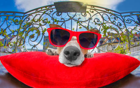 funny jack russell dog portrait in close up fisheye lens look on balcony on summer vacation holidays, resting and relaxing on a red pillow