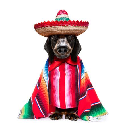 fun mariachi mexican dachshund sausage dog wearing a sombrero hat and red poncho, isolated on white background Standard-Bild