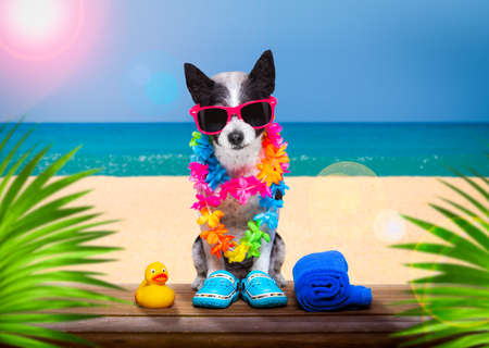 lady diva poodle dog with sunglasses in summer vacation holidays with cocktail drink or beverage at the beach bar club