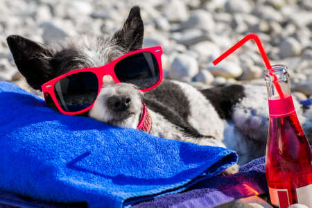 poodle dog resting and relaxing on a towel under umbrella at the beach ocean shore, on summer vacation holidays with cocktail