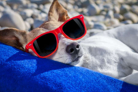 jack russel dog resting and relaxing on a towel under umbrella at the beach ocean shore, on summer vacation holidays